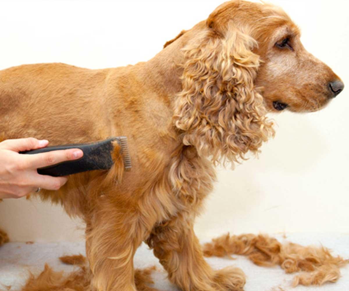um cachorro da raça cocker é tosado por um groomer com a máquina, uma tosa pet em mairiporã