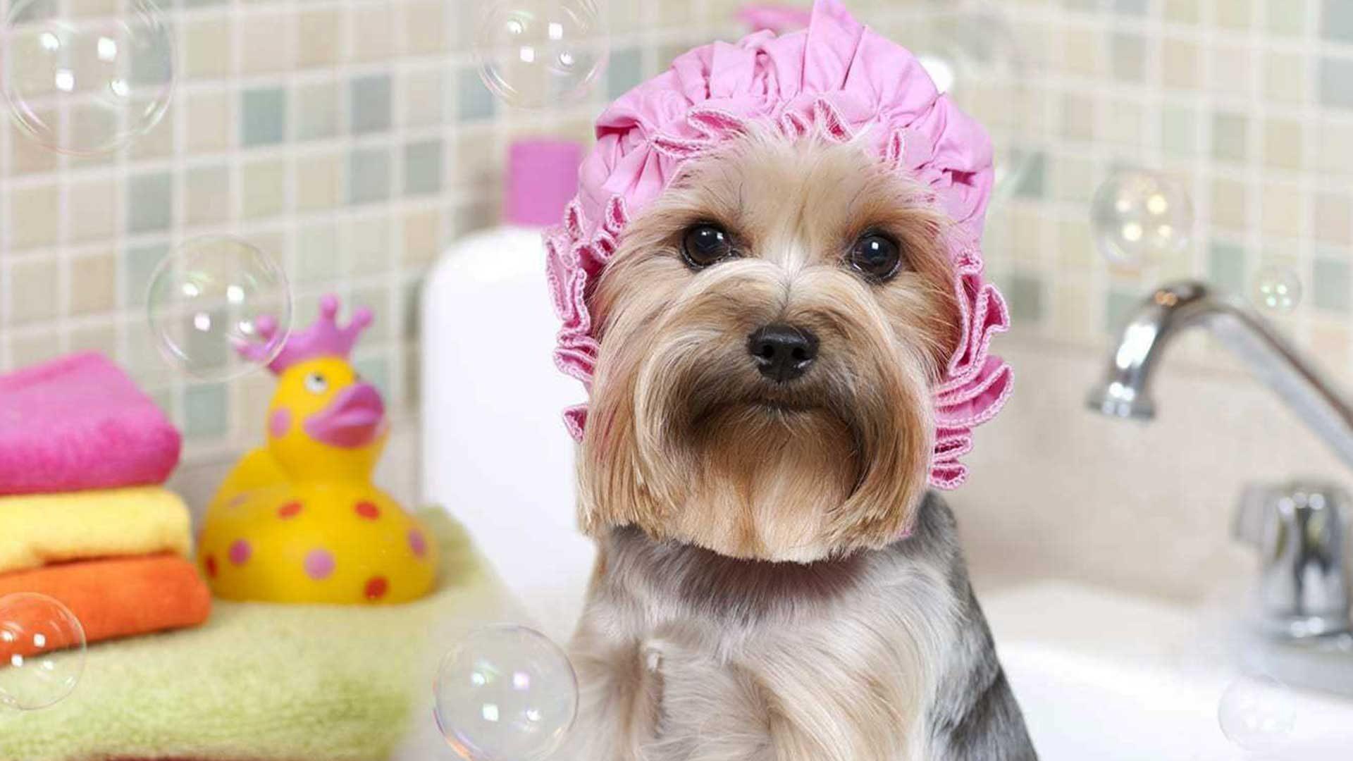 um shih tzu na banheira do adorno pet