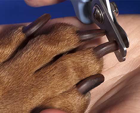 groomer do adorno pet corta a unha de um SRD